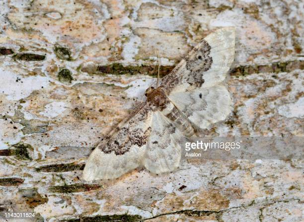 Closeup of a Least carpet moth resting camouflaged on a birch tree in a Norfolk garden in summer UK