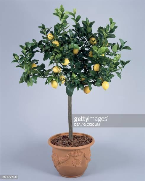 Close-up of a lemon plant