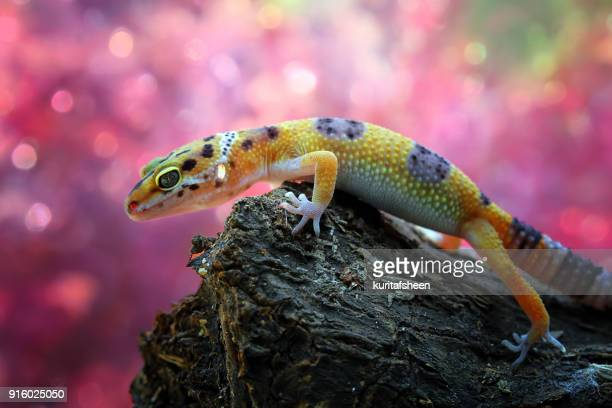 close-up of a leopard gecko on a rock - geco foto e immagini stock
