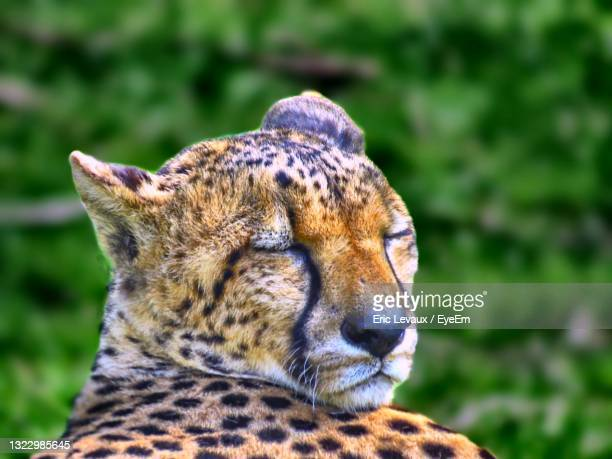 close-up of a leopard looking away - mulhouse stock pictures, royalty-free photos & images