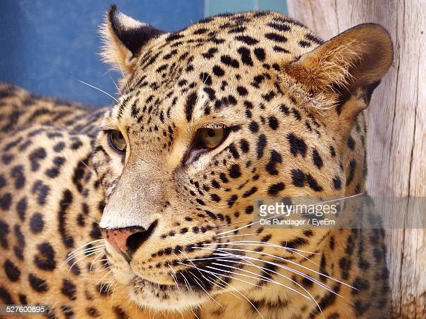 Close-Up Of A Leopard