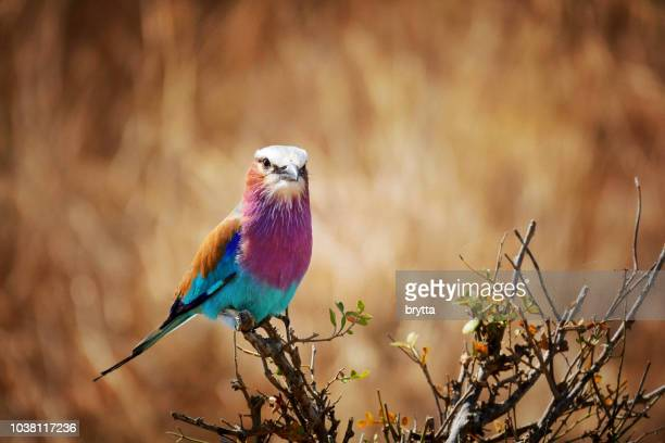 close-up of a lilac- breasted roller ( coracias caudatus ) - tropical bird stock pictures, royalty-free photos & images
