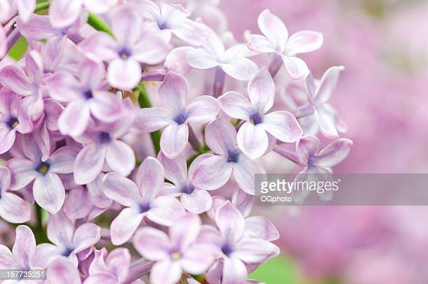 close-up of a lilac flower head - ogphoto stock photos and pictures