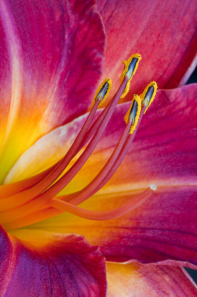 Close-up of a Lily Flower with colorful anthers