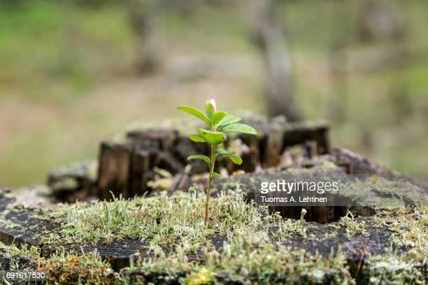 close-up of a lingonberry (or cowberry, huckleberry, foxberry) sapling, moss and lichen growing on top of a stump of a tree in the forest. - sapling stock photos and pictures