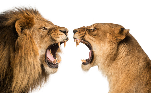 Close-up of a Lion and Lioness roaring at each other 483447803