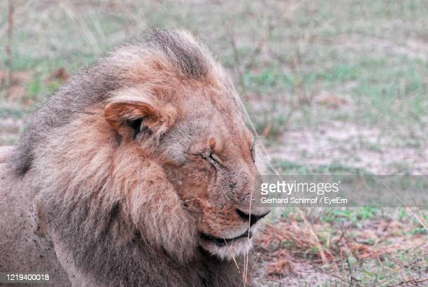 close-up of a lion looking away - gerhard schimpf stock pictures, royalty-free photos & images