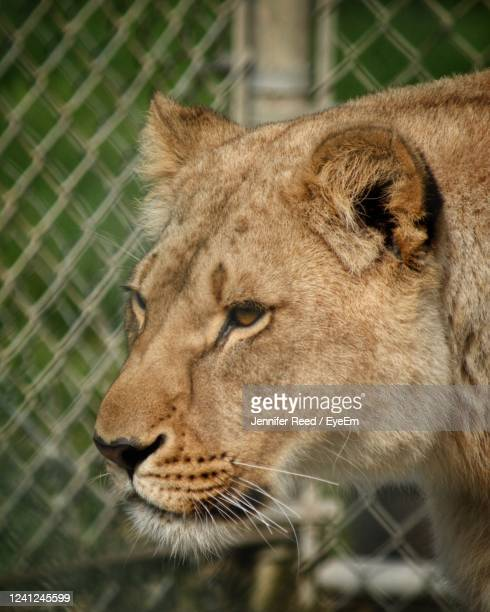 close-up of a lion looking away - jennifer reed stock pictures, royalty-free photos & images