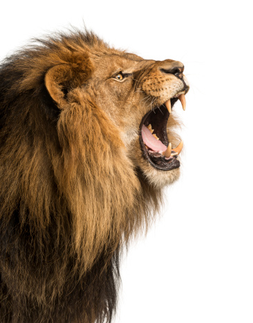 Close-up of a Lion roaring, isolated on white 456097309