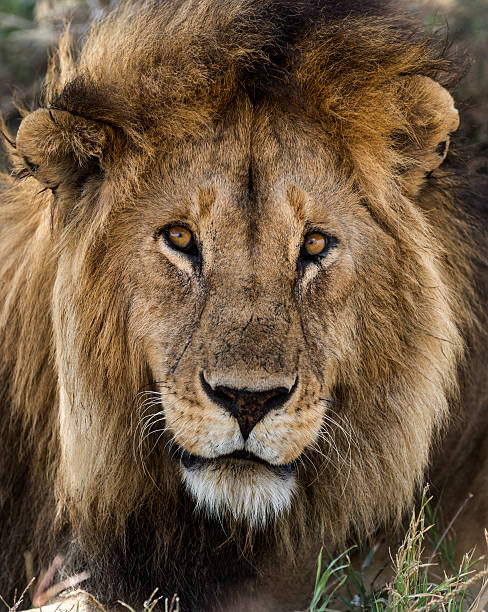 Close-up Of A Lion, Serengeti, Tanzania, Africa Wall Art