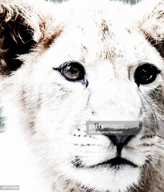 Close-up of a lion, Yalta, Crimea, Ukraine
