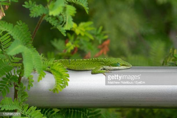 close-up of a lizard on tree - exotic_species stock pictures, royalty-free photos & images