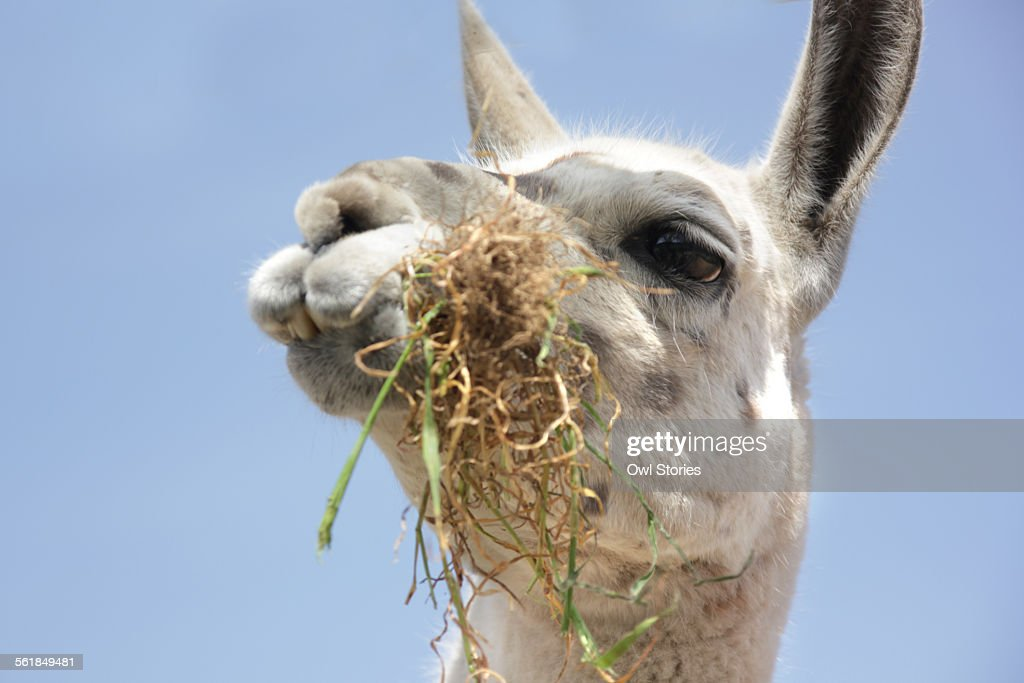Close-up of a llama eating grass
