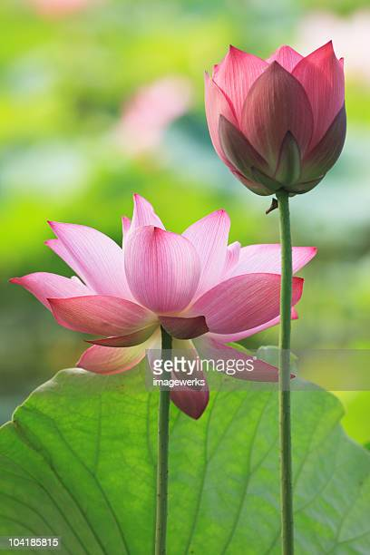 Close-up of a Lotus flower