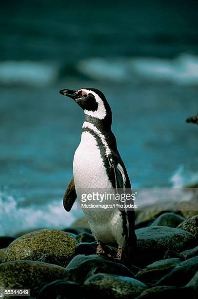Close-up of a Magellanic Penguin, Magdalena Island, Chile