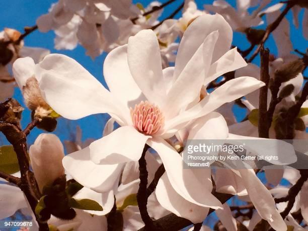 close-up of a magnolia tree flower - parte della pianta foto e immagini stock