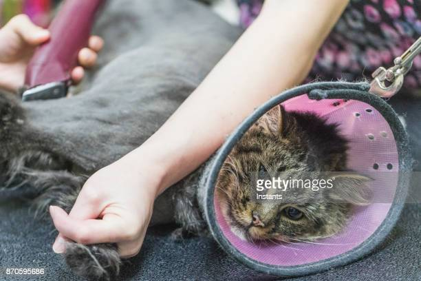 close-up of a maine coon cat at the grooming salon. - restraining stock pictures, royalty-free photos & images