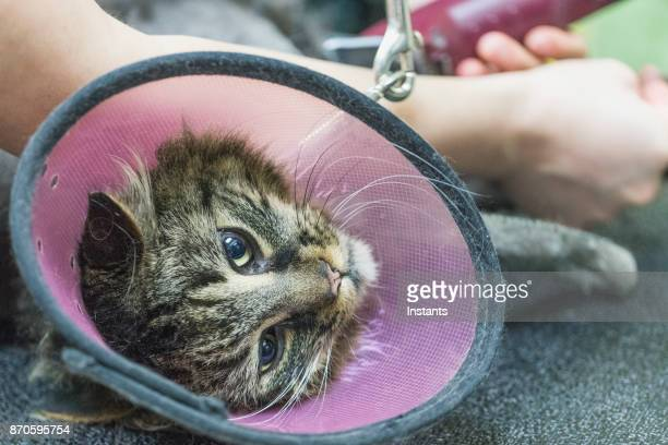 close-up of a maine coon cat at the grooming salon. - elizabethan collar stock photos and pictures