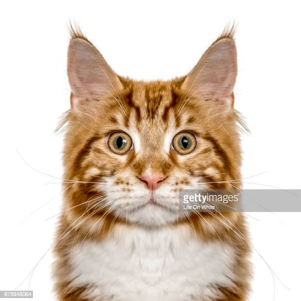 Close-up of a Maine Coon looking at camera, isolated on white