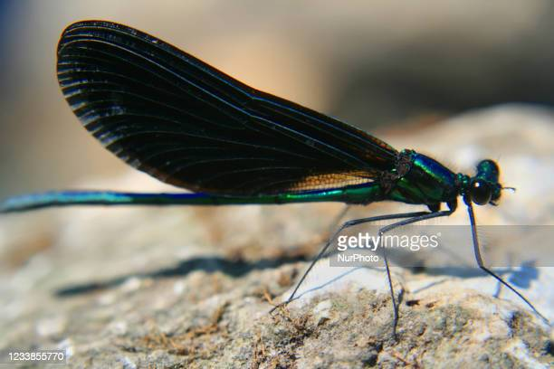 Close-up of a male black-winged damselfly in Ontario, Canada, on July 06, 2008.
