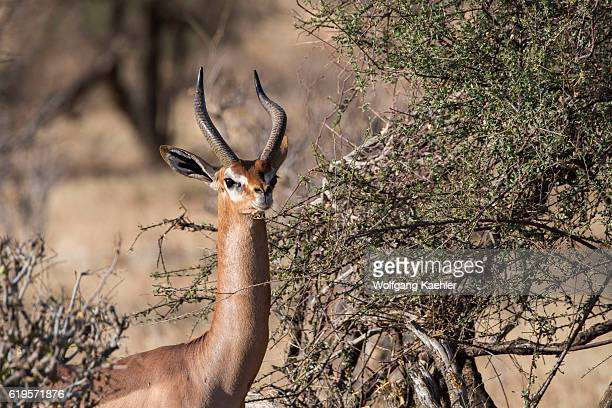 Closeup of a male Gerenuk in Samburu National Reserve in Kenya