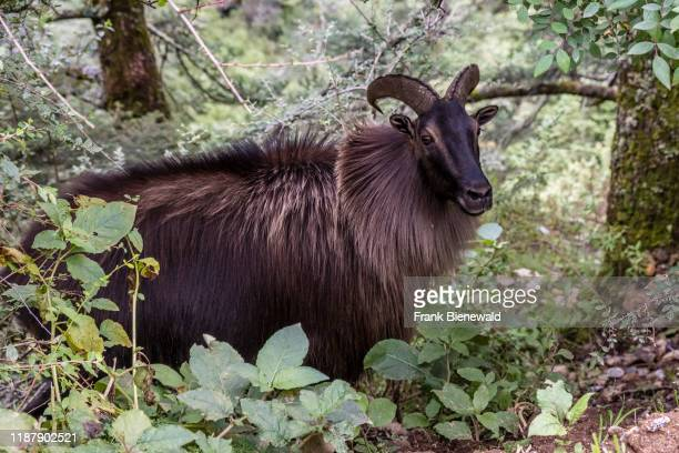 Close-up of a male Himalayan Tahr , standing between trees.