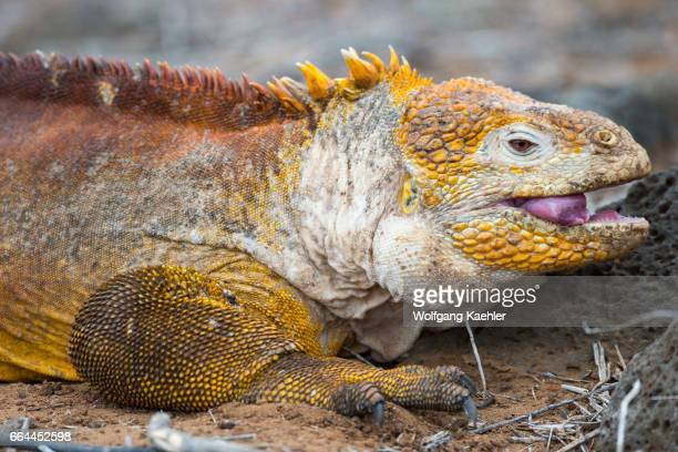 Closeup of a male Land iguana at Cerro Dragon on the west coast of Santa Cruz Island Galapagos Islands Ecuador
