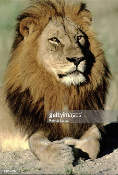 Closeup of a male lion as it lies on the ground in the Kalahari Desert South Africa 1985