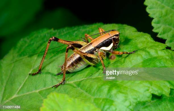 Closeup of a male Littoral dark bushcricket resting on a leaf in a bushy habitat in Croatia Europe