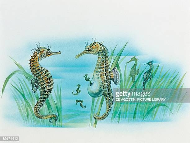 Closeup of a male sea horse expelling young sea horses