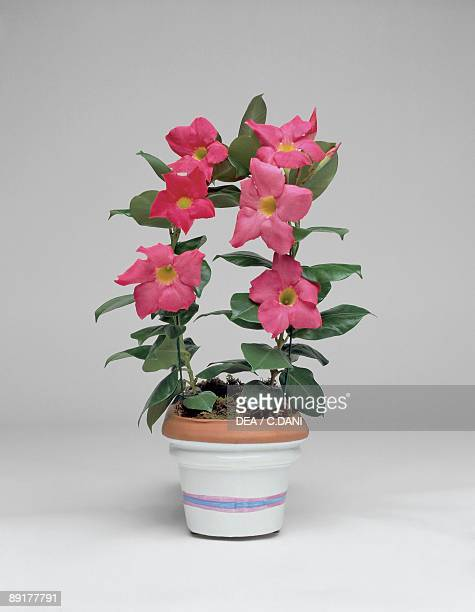 Closeup of a Mandevilla splendens plant growing in a pot