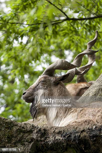 close-up of a markhor sleeping outdoors - markhor stock photos and pictures