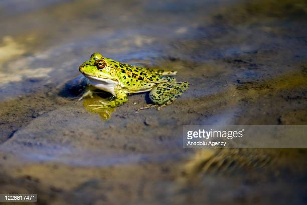 Close-up of a marsh frog sitting in water at Patara Ancient City in Kas district of Antalya, Turkey on September 30, 2020. Patara was the leading...