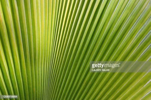 Close-up of a Mexican fan palm tree (Washingtonia robusta)