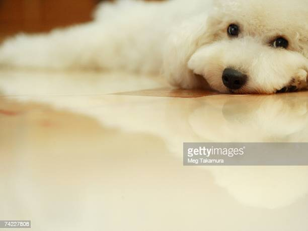 close-up of a miniature poodle lying down on the floor - miniature poodle stock photos and pictures