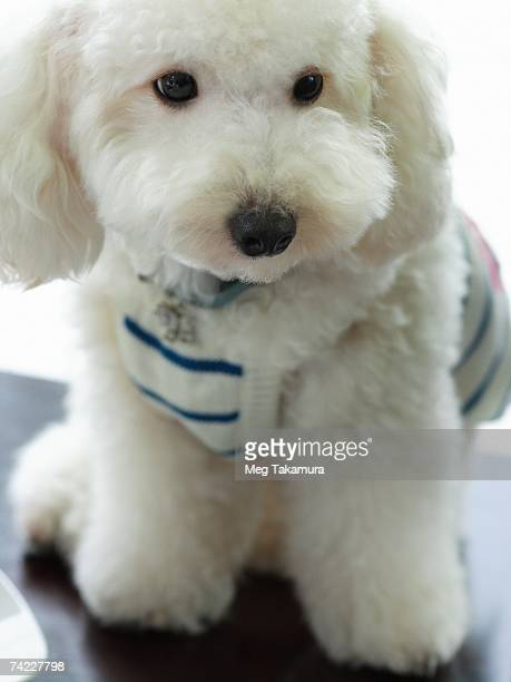 close-up of a miniature poodle - miniature poodle stock photos and pictures