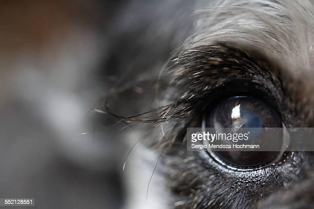 Closeup of a Miniature Schnauzer Eye