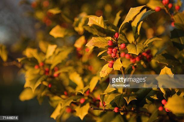 close-up of a mistletoe plant, washington dc, usa - what color are the berries of the mistletoe plant stock pictures, royalty-free photos & images
