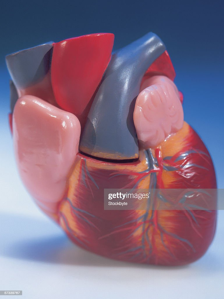 close-up of a model of the human heart : Stock Photo