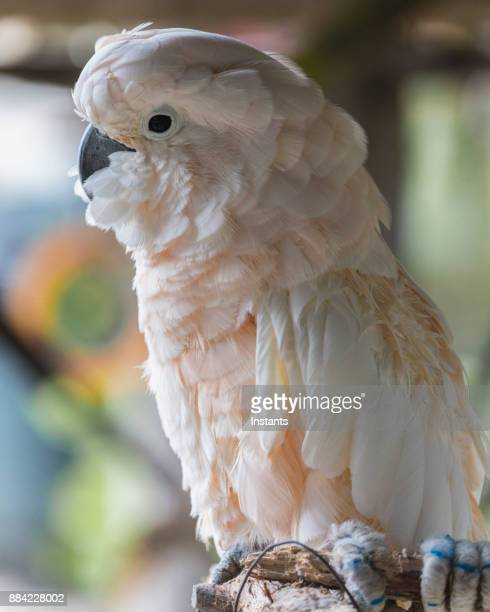 Close-up of a Moluccan cockatoo, as seen in the Bahamas.