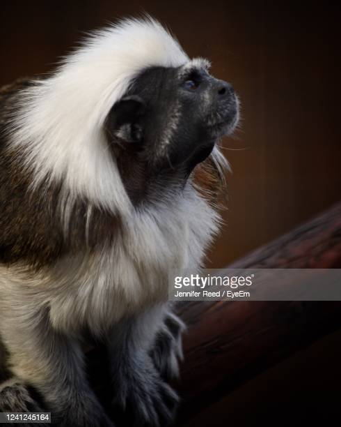 close-up of a monkey looking away - jennifer reed stock pictures, royalty-free photos & images