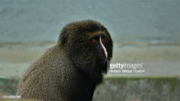 close-up of a monkey looking away - mulhouse stock pictures, royalty-free photos & images