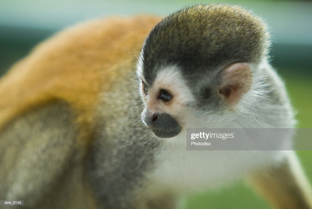 Close-up of a monkey : Foto de stock