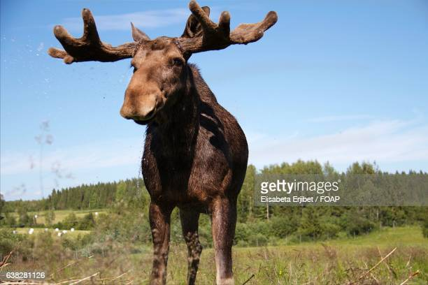 Close-up of a Moose in the forest