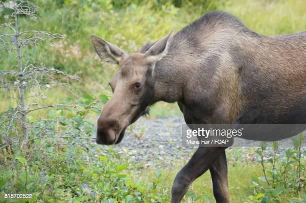 Close-up of a moose