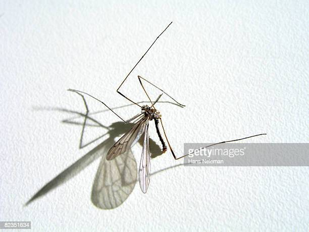 Close-up of a mosquito, Argentina
