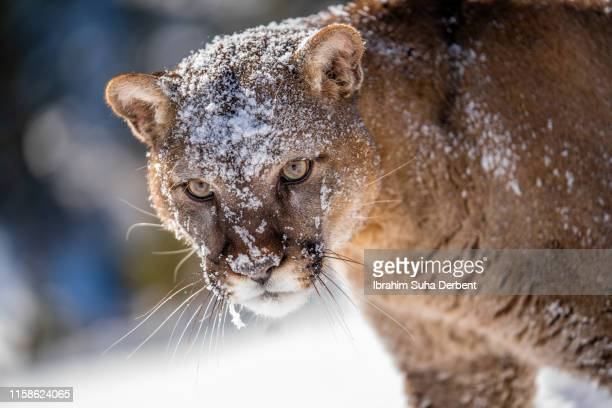 close-up of a mountain lion, looking around - carnivora fotografías e imágenes de stock
