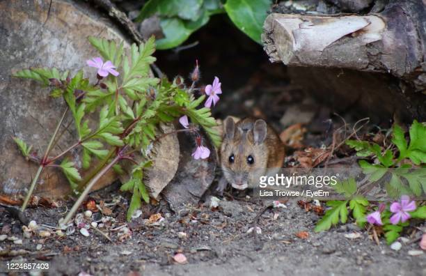 close-up of a mouse in a garden - esher stock pictures, royalty-free photos & images