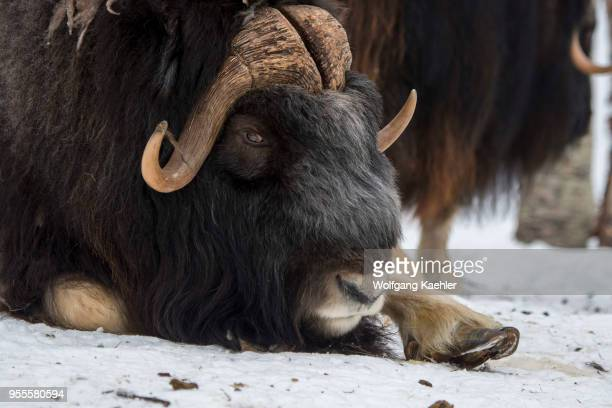 Closeup of a Muskox at a wildlife park in northern Norway