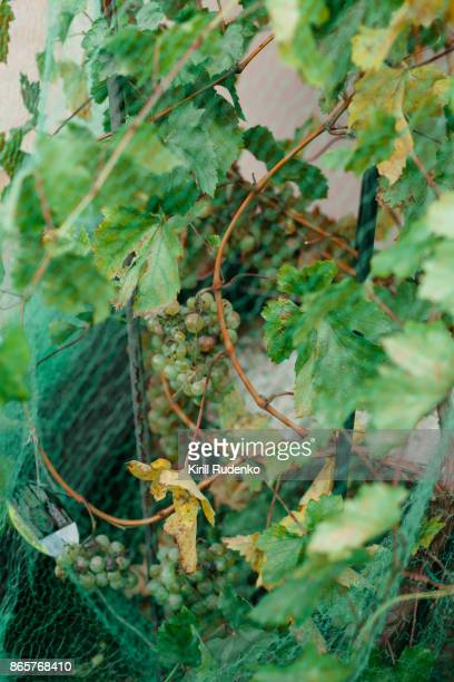 Close-up of a netting on vines
